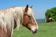 Portrait en gros plan d'un cheval de trait belge image stock