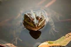 Portrait en gros plan d'une grenouille et des insectes en marais Images libres de droits