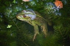 Portrait en gros plan d'une grenouille et des insectes en marais Image stock