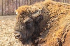 Portrait en gros plan de bison européen Images libres de droits