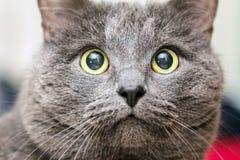 Portrait en gros plan de chat gris images stock
