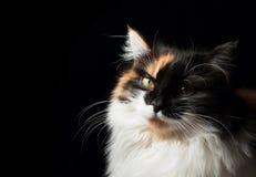 Portrait en gros plan de chat repéré Image libre de droits
