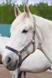 Portrait en gros plan de cheval blanc avec le foyer sélectif Photographie stock libre de droits