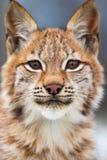 Portrait en gros plan de lynx eurasien dans la forêt photographie stock