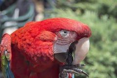 Portrait en gros plan des arums rouges de perroquet images libres de droits