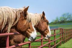 Portrait en gros plan des chevaux de trait belges photos libres de droits