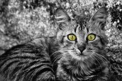 Portrait en gros plan du visage des catnoirs et blancs de BW soulignant les yeux sélectivement colorés de vert et de jaune Photos libres de droits