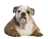 Portrait of English Bulldog, 7 months old Royalty Free Stock Photo