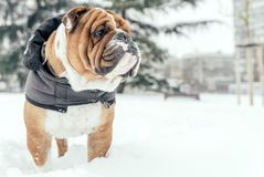 Portrait of English bulldog. Big English bulldog posing outdoor,selective focus and blank space Stock Photos