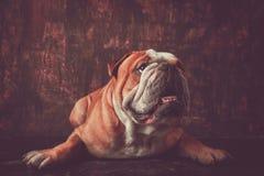 Portrait of English bulldog Royalty Free Stock Photo