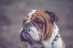 Portrait of English bulldog. Close up to English bulldog head,selective focus Royalty Free Stock Photography
