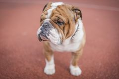 Portrait of English bulldog. English bulldog posing outdoor,selective focus Royalty Free Stock Photo