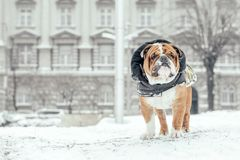 Portrait of English bulldog. ENglish bulldog posing during snow weather,selective focus and blank space Stock Photo