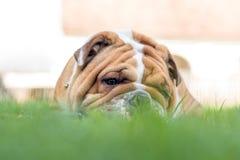 Portrait of English bulldog Stock Photos