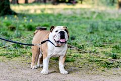 Portrait of an English Bulldog on a Leash royalty free stock images