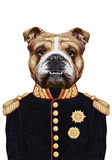 Portrait of English Bulldog in military uniform. Stock Image