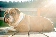 Portrait of English bulldog Royalty Free Stock Photos