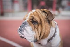 Portrait of English bulldog. Outdoor,selective focus Stock Image