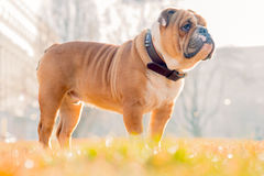 Portrait of English bulldog Royalty Free Stock Images