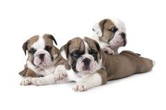 Portrait of English Bulldog puppies Royalty Free Stock Photos