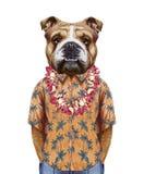 Portrait of  English Bulldog in summer shirt with Hawaiian Lei. Stock Photos