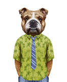 Portrait of English Bulldog in summer shirt with tie. Stock Images