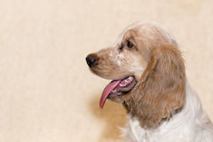 Portrait of english cocker spaniel Stock Images