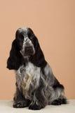 Portrait of english cocker spaniel Royalty Free Stock Image