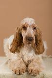 Portrait of english cocker spaniel Stock Image