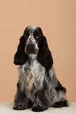 Portrait of english cocker spaniel Royalty Free Stock Images