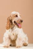 Portrait of english cocker spaniel Royalty Free Stock Photo