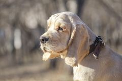 English Cocker Spaniel puppy walking in the park. stock photography