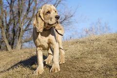 Portrait of a English Cocker Spaniel on a blue sky royalty free stock photography