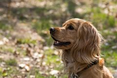 Portrait of an English Cocker Spaniel. A still young and sweet Cocker Spaniel stock photo