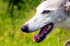Portrait English greyhound Royalty Free Stock Photos