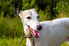 Portrait English greyhound Stock Image