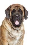 Portrait of a english mastiff