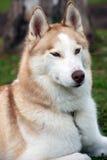 Portrait enroué de chien Photographie stock libre de droits
