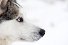 Portrait enroué de chien Photos stock