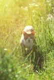 Portrait ensoleillé d'un chat marchant dans le domaine, regardant dans les yeux Photos libres de droits