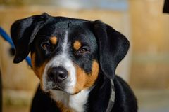 Portrait of an Entlebucher Dog royalty free stock photography