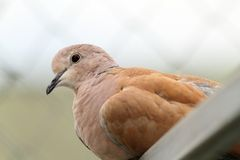Portrait of eurasian collared dove Stock Image