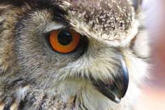 Portrait of an Eurasian Eagle Owl Stock Photos