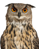 Portrait of Eurasian Eagle-Owl. Bubo bubo, a species of eagle owl in front of white background royalty free stock photo