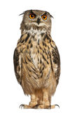 Portrait of Eurasian Eagle-Owl Stock Image