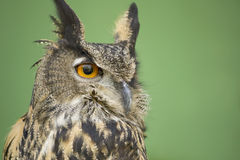 Portrait of Eurasian eagle owl Stock Image