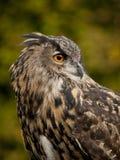 Portrait of a Eurasian Eagle-Owl Stock Photography