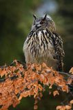 Portrait of Eurasian Eagle-owl, Bubo bubo with autumn forest in the background. stock photo