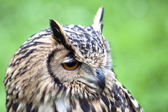 Portrait of The Eurasian Eagle Owl (Bubo bubo) Royalty Free Stock Images
