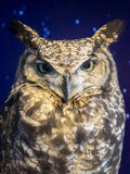 Portrait of The Eurasian Eagle Owl (Bubo bubo) sky backround Stock Images